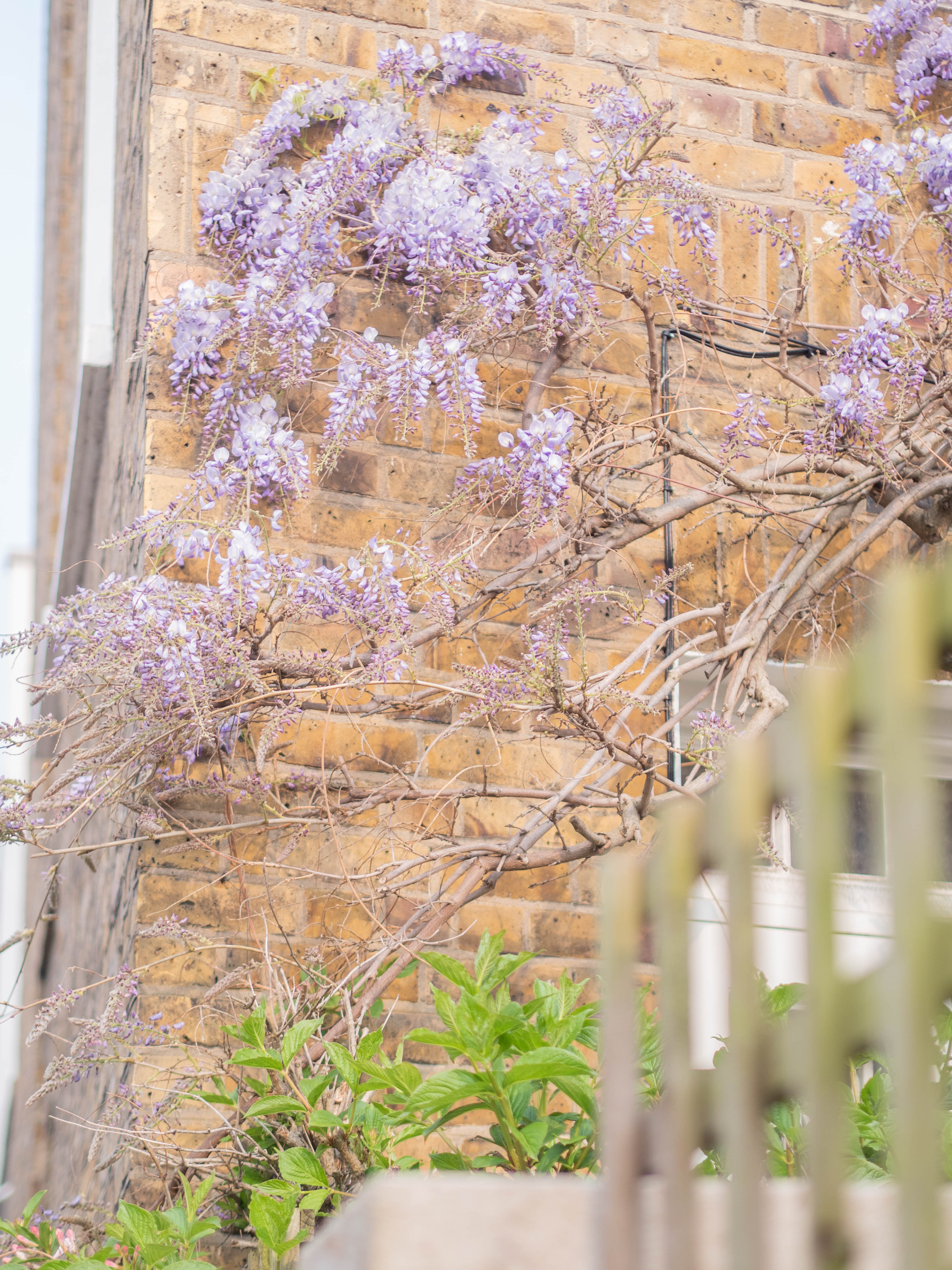 Wisteria, growing up the side of a house, starts to bloom.