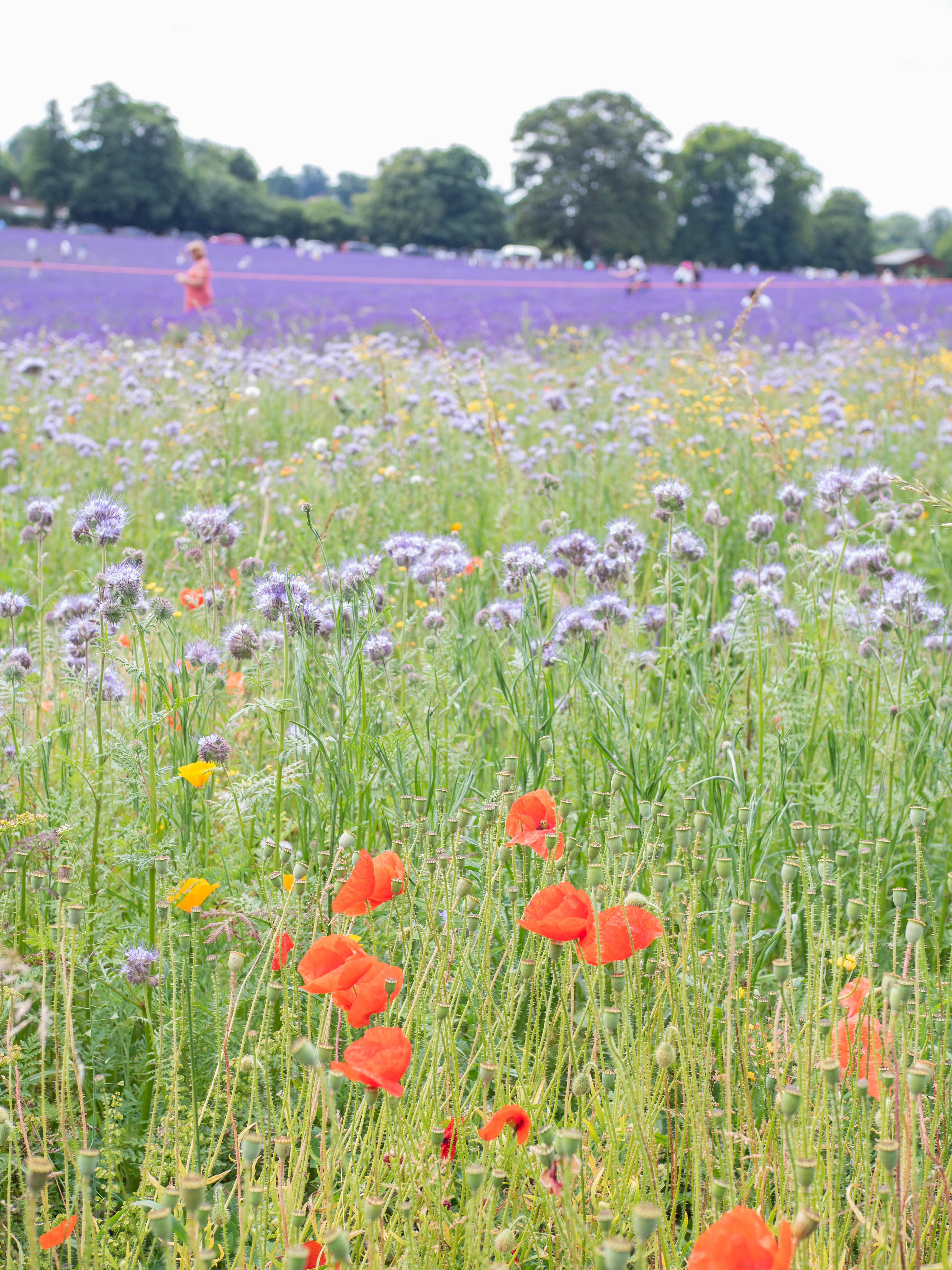 Wildflower fields and lavender fields at the Mayfield Lavender Farm